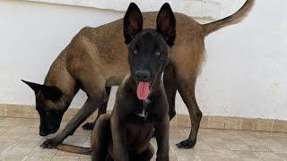 فيديو وثائقي: يبين الطريقة الصحيحة لتربية كلاب المالينوا🐕الحقيقية، واحسن طرق الدريساج بالمغرب  🇲🇦