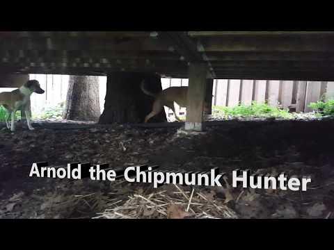 Arnold the Chipmunk Hunter
