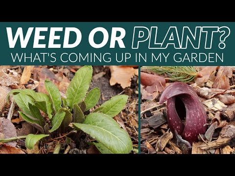 WEED OR PLANT   WHAT'S COMING UP IN MY GARDEN   The Impatient Gardener
