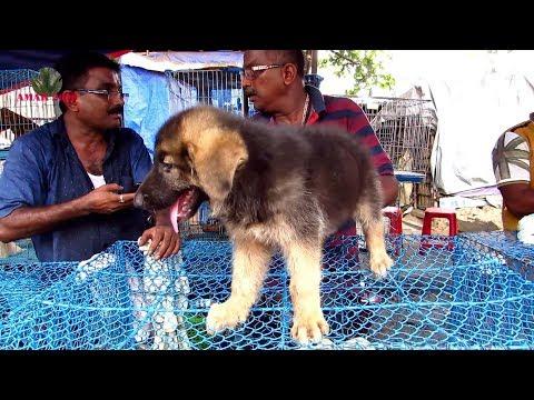 CUTE DOG PUPPY SELLER AT GALIFF STREET PET MARKET KOLKATA | 9TH JUNE 2019 | WITH SELLER CONTACT NO.