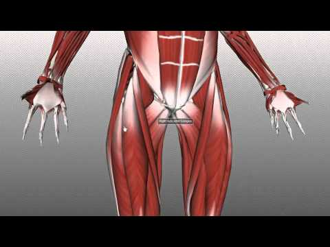Femoral Triangle - Anatomy Tutorial
