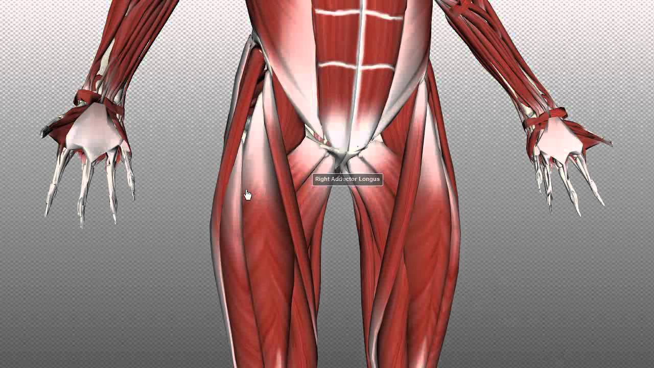 femoral triangle - anatomy tutorial - youtube, Muscles