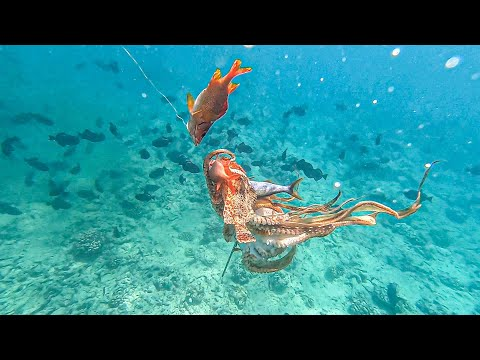 SCORPION FISH (nohu) Catch And Cook-spearfishing Hawaii