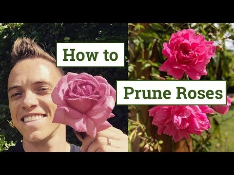 How To Prune Roses: The Beginners Guide