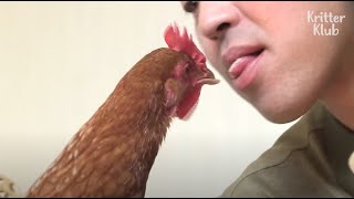 Orphaned Chicken Acts Like A Dog To Her New Family | Kritter Klub
