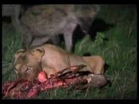 Hyenas Defeat Lions
