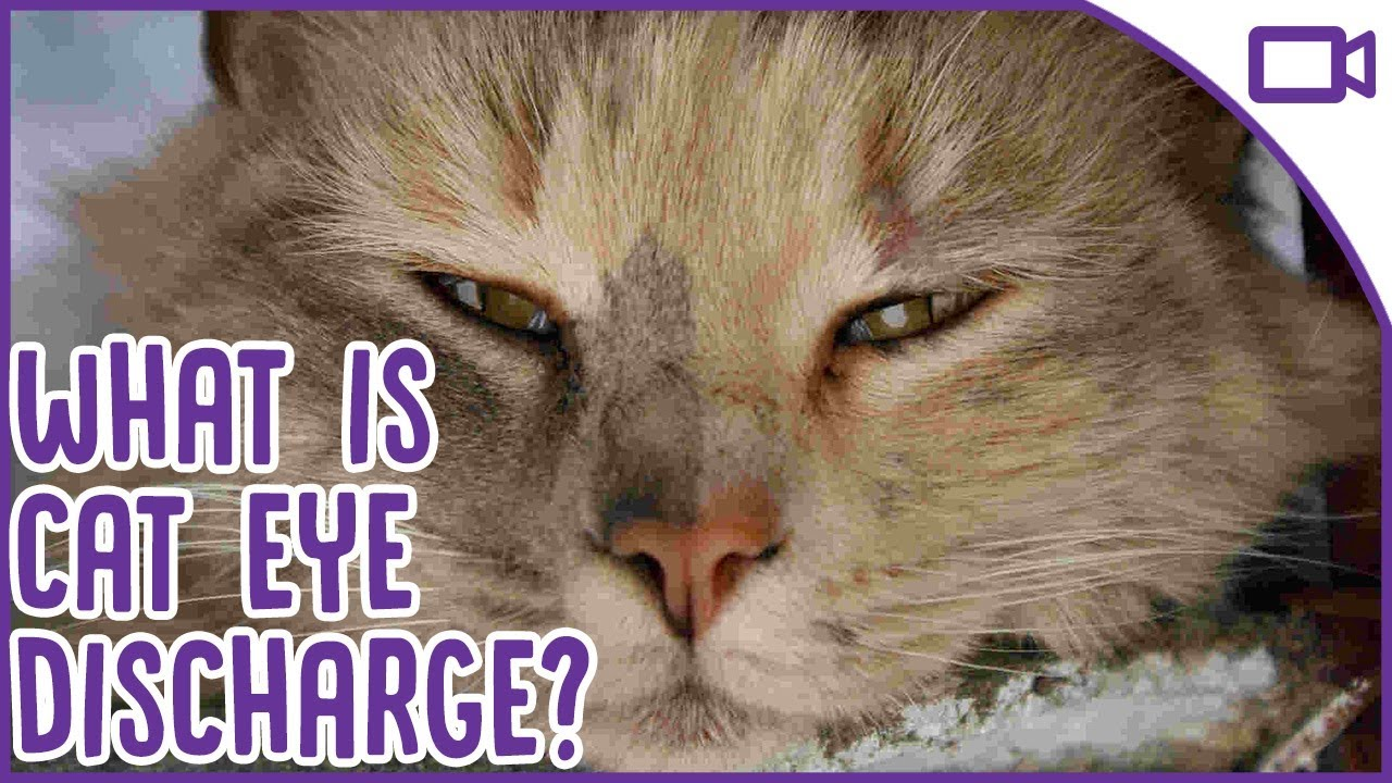 Cat Eye Discharge What Is It And When Should You See A Vet Youtube