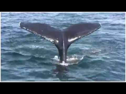 The song of the world's last whale