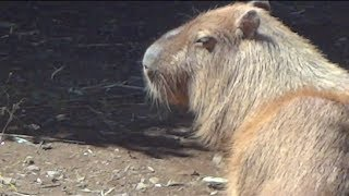 神奈川県のよこはま動物園ズーラシアのカピバラです。