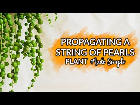 Propagating A String Of Pearls Plant Made Simple / Joy Us Garden