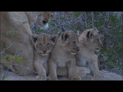 Safari Live : Three new Nkuhuma Lion Cubs as seen on morning drive  July 06, 2016