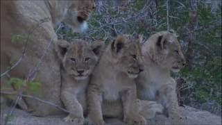 Safari Live : Three new Nkuhuma Lion Cubs as seen on morning drive  July 06, 2016