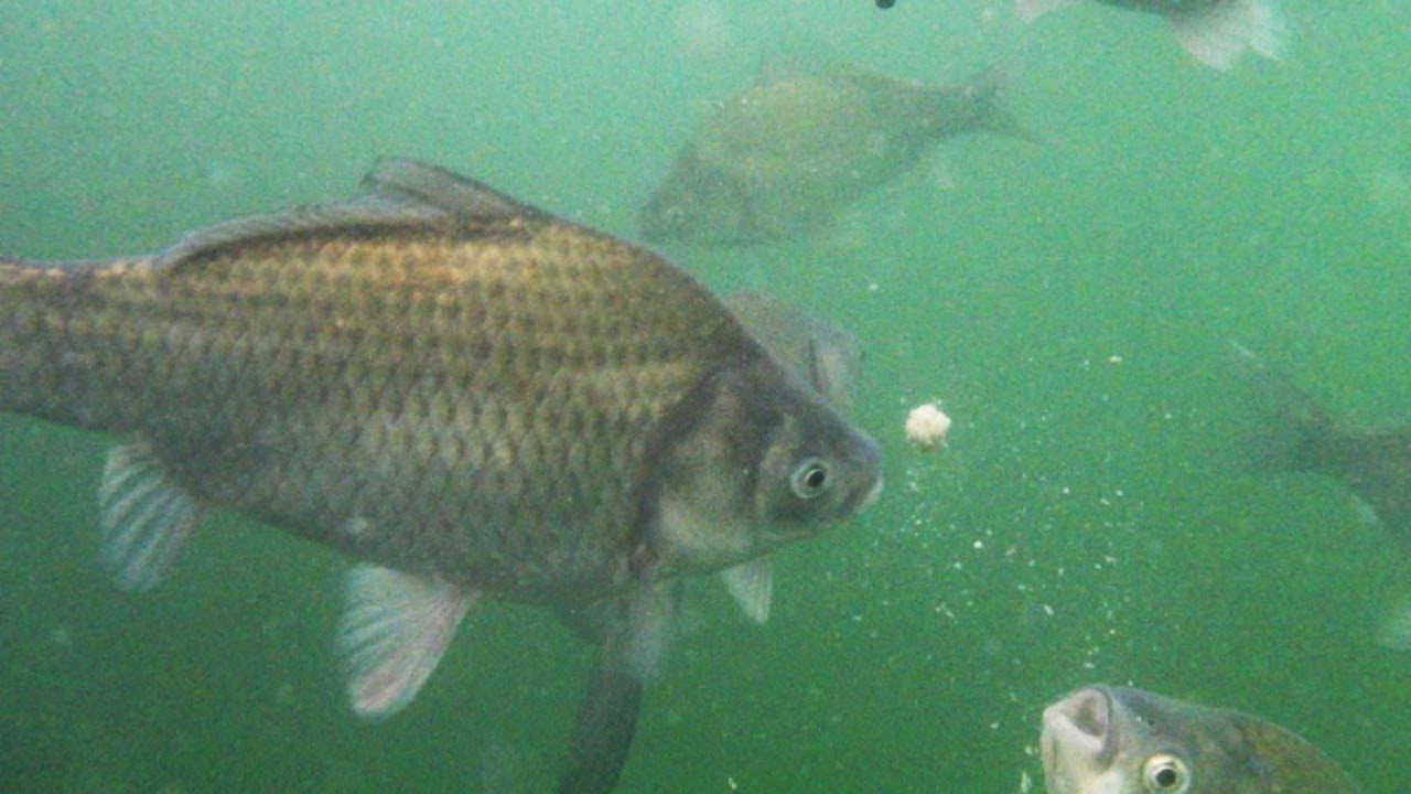ヘラブナ釣りって楽しいかも♪【実釣水中動画】 - YouTube