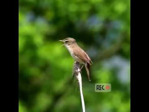 Burung kerakbasi di alam bebas