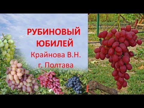 Виноград 2019  Виноград Рубиновый юбилей  Отзыв о винограде
