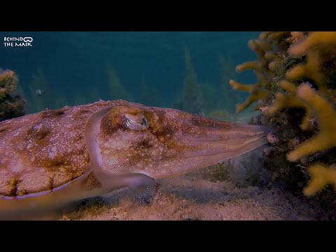 Pharaoh Cuttlefish (Dahab - South Sinai - Egypt)