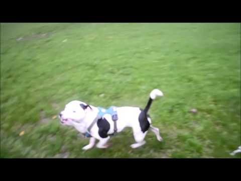 Playing and training with off-lead Staffordshire Bull Terrier