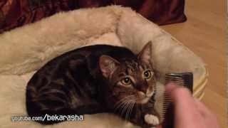 Кот когда слышит хруст расчески высовывает язык