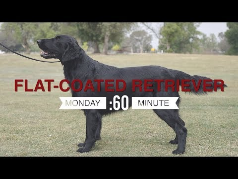 MONDAY'S MINUTE: FLAT-COATED RETRIEVER