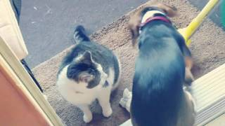 Beagle meets the cat for the first time