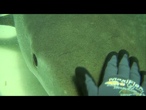MaxiFlex - tested on Tiger Sharks