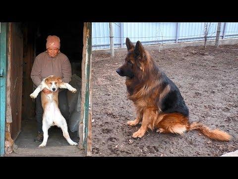 ДАКАР и ЩЕНКИ АЛАБАЯ. Длинношерстная Немецкая овчарка и щенки САО.