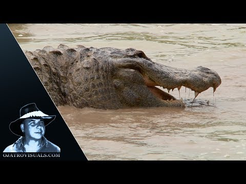 Alligator Feeding Frenzy 01 Footage