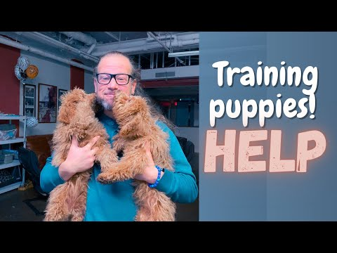 Training puppies! HELP | How we do it | Solid K9 Training Dog Training