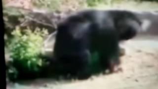 Urso ataca homem e arranca parte do rosto.