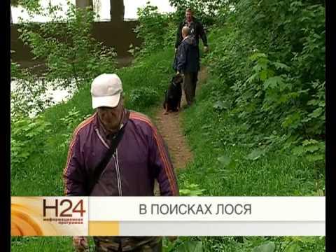 Нашествие лосей в Рыбинске