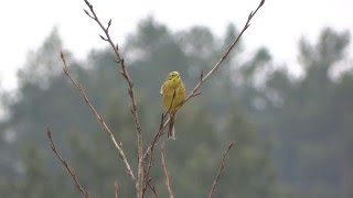 Yellowhammer song / Emberiza citrinella