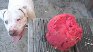 Petey the Pitbull vs. Kong Ball