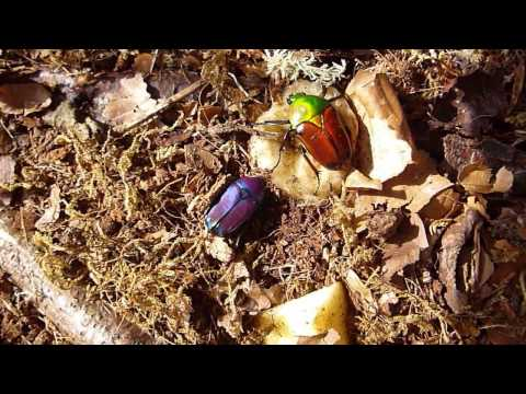 Purple Jewel Beetle & Giant African Fruit Beetle