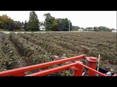 John Stenson's #2 / Concord Grape Harvest in North East, PA