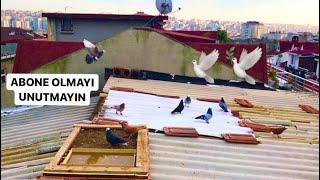 Uçum Kuşlarının Kümesten Uçuşu Efsane Kuşlar