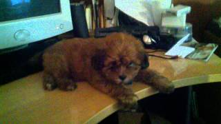 Shih-tzu Poodle Mix Puppy