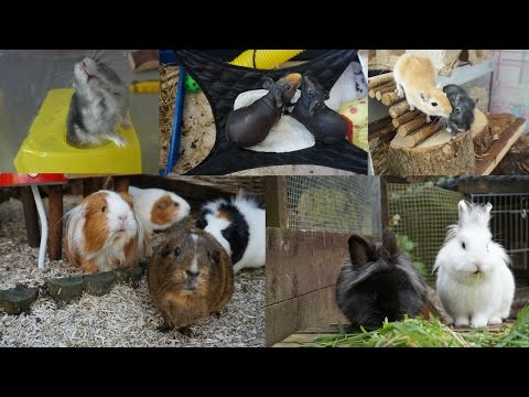 Afternoon/Evening Pet Routine | Guinea Pigs, Rabbits, Gerbils & Hamster