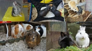 Evening Pet Routine | Guinea Pigs, Rabbits, Gerbils & Hamster