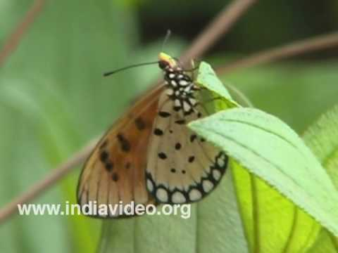 Tawny Coster or Acraea violae