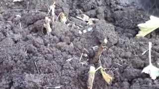 Садоводство. Дача. Как Правильно Садить Смородину? Уроки Садоводства