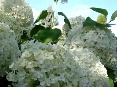 """Великолепное цветение гортензии древовидной """"Strong Annabelle""""!"""