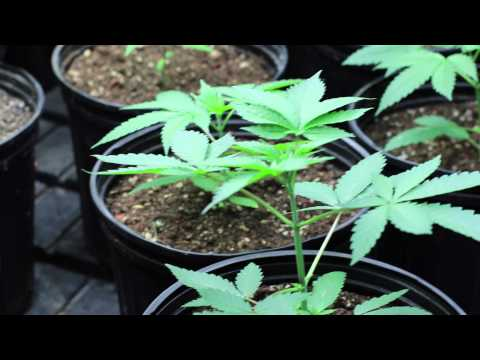 "How to grow ""Mendo Dope"" from Seed - Part 1"