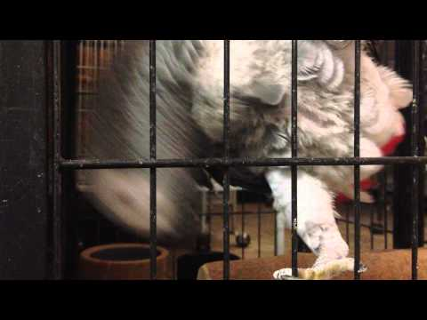 African Grey Parrot – Male and Female Voice