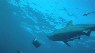 Baited dive on Protea Banks with Tiger shark in crystal clear water