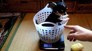 チワワの子犬の体重を久々に量ってみました。来た時の倍近くになってま...