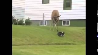Олень против собаки и кошки  Схватка