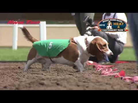 Canterbury Park Basset Hound Races 6-16-19