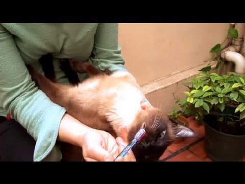 How to Clean Your Cat's Teeth : How to Take Care of Your Cat