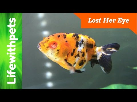 What Happened To Our Goldfish's Eye?