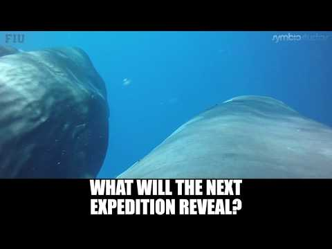 Sperm Whale Hunting Giant Squid